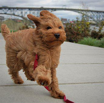 Labradoodle Puppies for sale in Illinois
