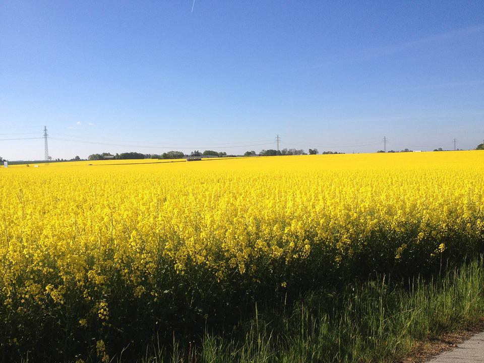 yellow fields of gold free photo on pixabay