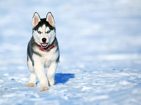 Husky Puppies For Sale in Illinois