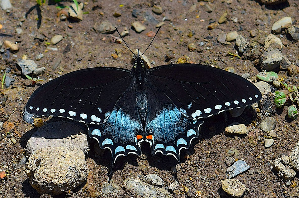 butterfly blue black 183 free photo on pixabay
