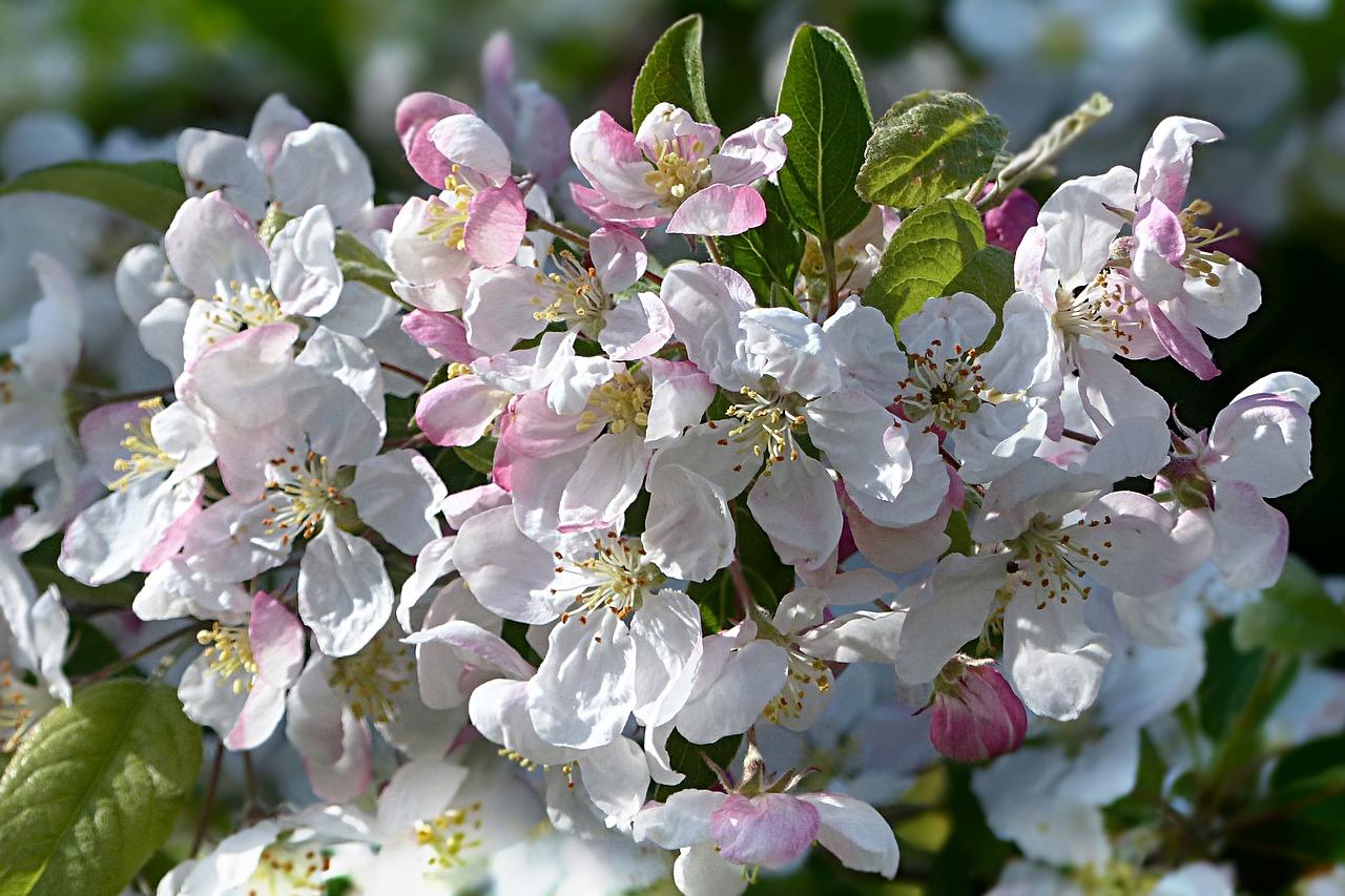 Яблони молодые в цвету фото