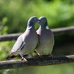 pigeon, love, kiss