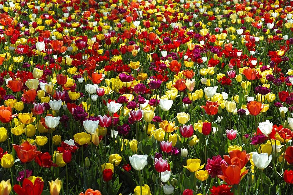 çiçek Lale Güzel Pixabayde ücretsiz Fotoğraf