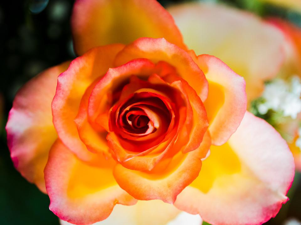 Rose yellow red free photo on pixabay rose yellow red orange flower rose blooms blossom mightylinksfo