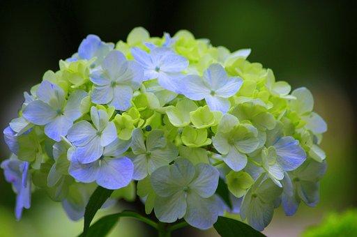 紫陽花, 日本, 緑, アジサイ, 梅雨, 自然, 植物, 花, 6月