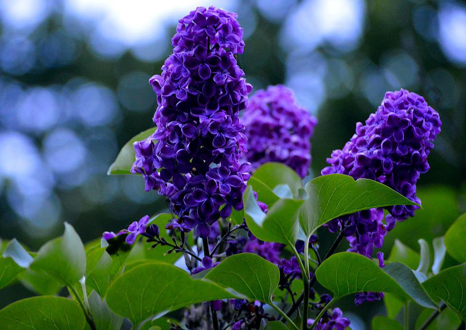 free photo purple, lavender flowers, flower  free image on, Natural flower