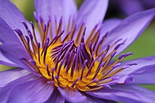 Nénuphar, Lotus, Fleur, Plante Aquatique