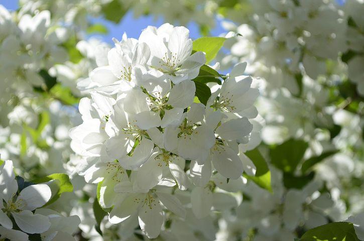 Картинки цветущие яблони весной, любаша спасибо жду