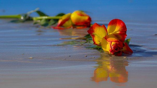 Rose, Flower, Wilted, Floral, Plant