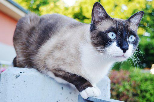 Cat, Eyes, Blue, Siamese, Muzzle, Garden