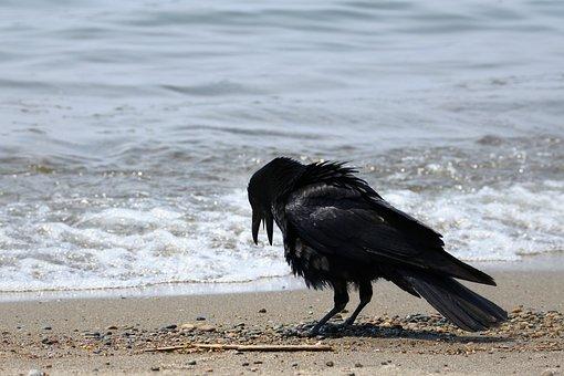 アニマル, 海, 浜辺, ビーチ, 波, 波打ち際, 野鳥, カラス, 野性動物
