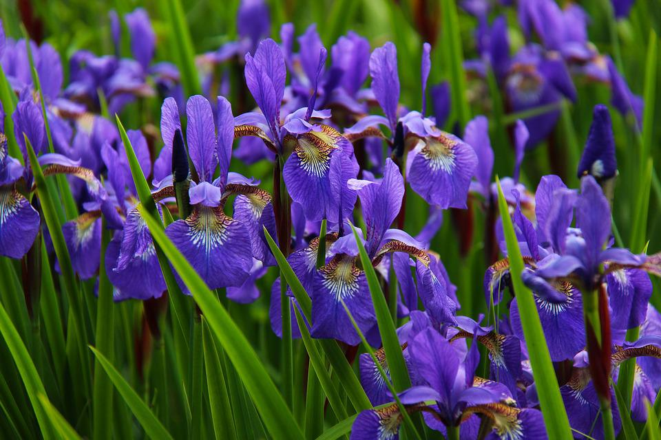 blue, iris  free images on pixabay, Natural flower