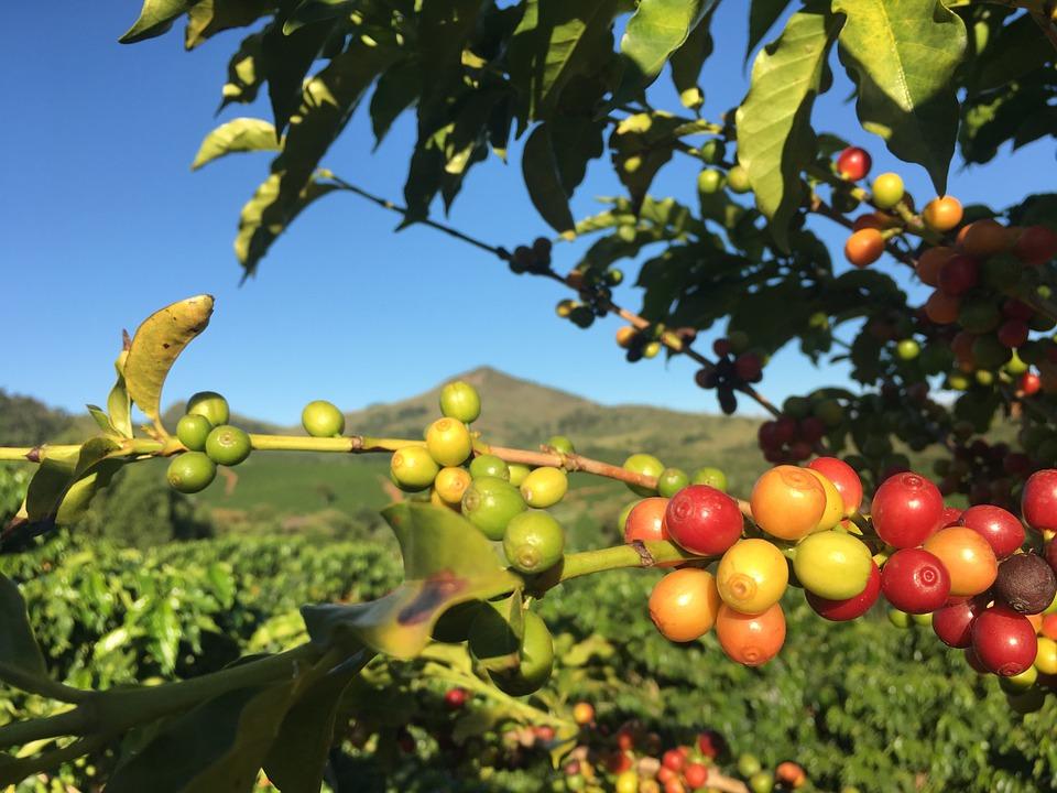 Café, Plante, Cafe Rouge, Ferme, Roça, Nature, Minas