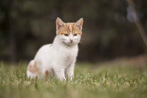 Cat, White, Animal Portrait, Animals