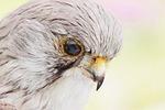 falcon, bird, stuffed
