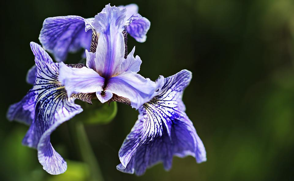 iris  free images on pixabay, Beautiful flower
