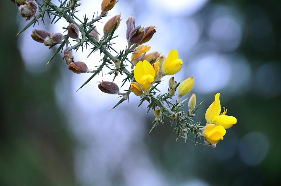 Broom flowers yellow free photo on pixabay broom flowers yellow spring flora plants mightylinksfo