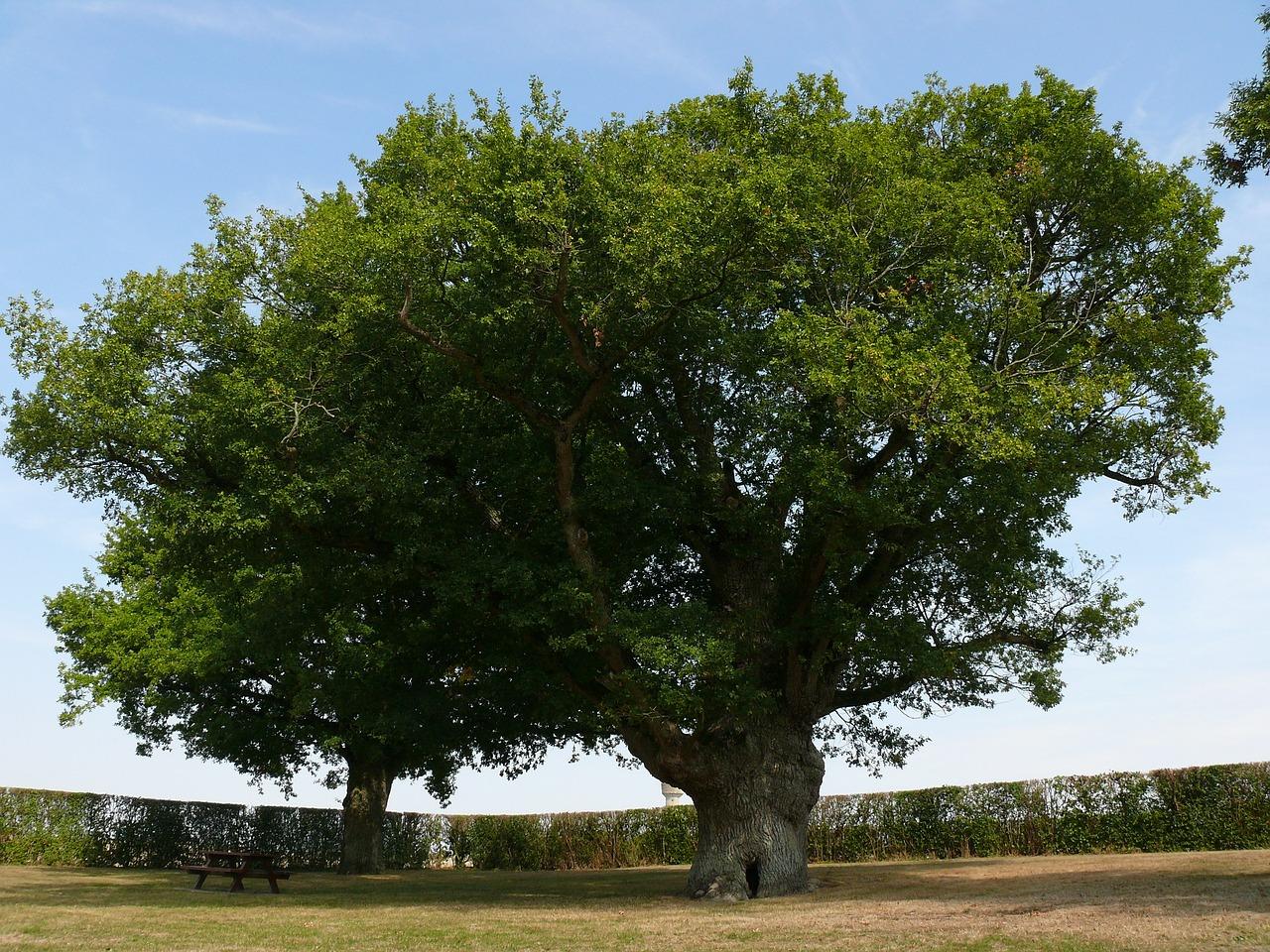 таких фотографии дерева дуба желательно взять самого
