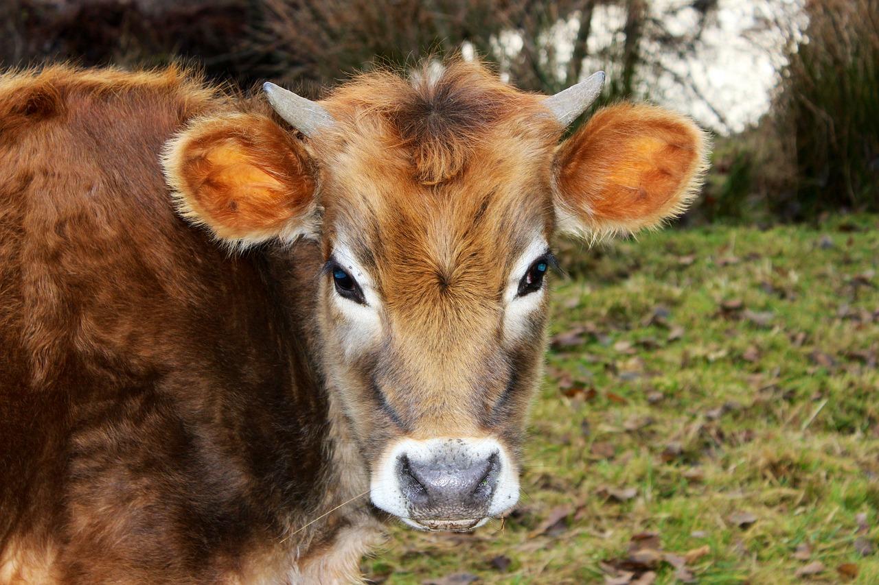 Картинка быков животное