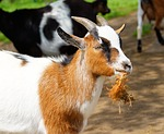 goat, chew, horns