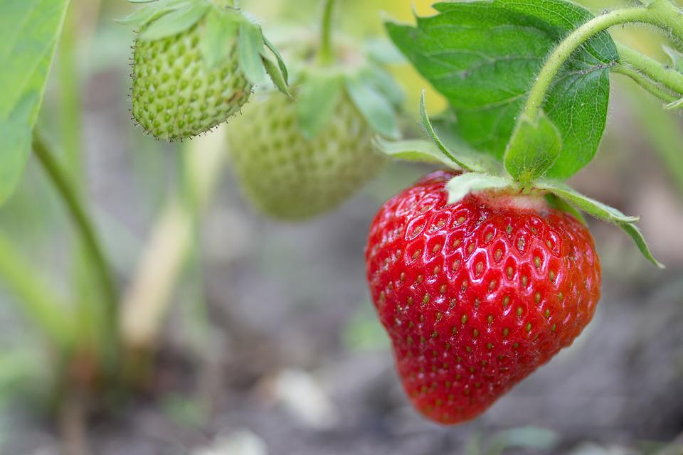 Strawberry, Access, Room, Nature, Plant, Macro, Summer