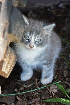 Kitten, Grey Kitten, Tabby, Cute, Pet