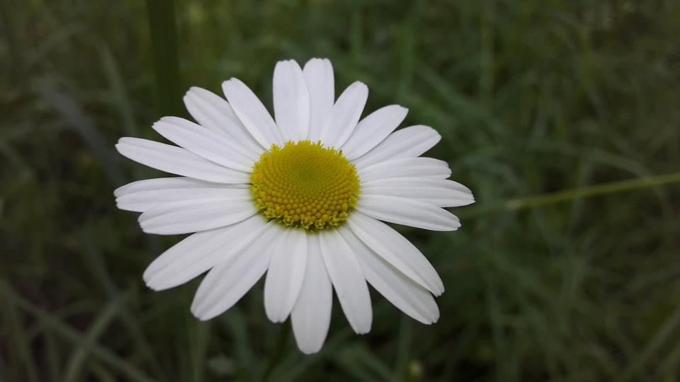 daisy, flower  free images on pixabay, Natural flower