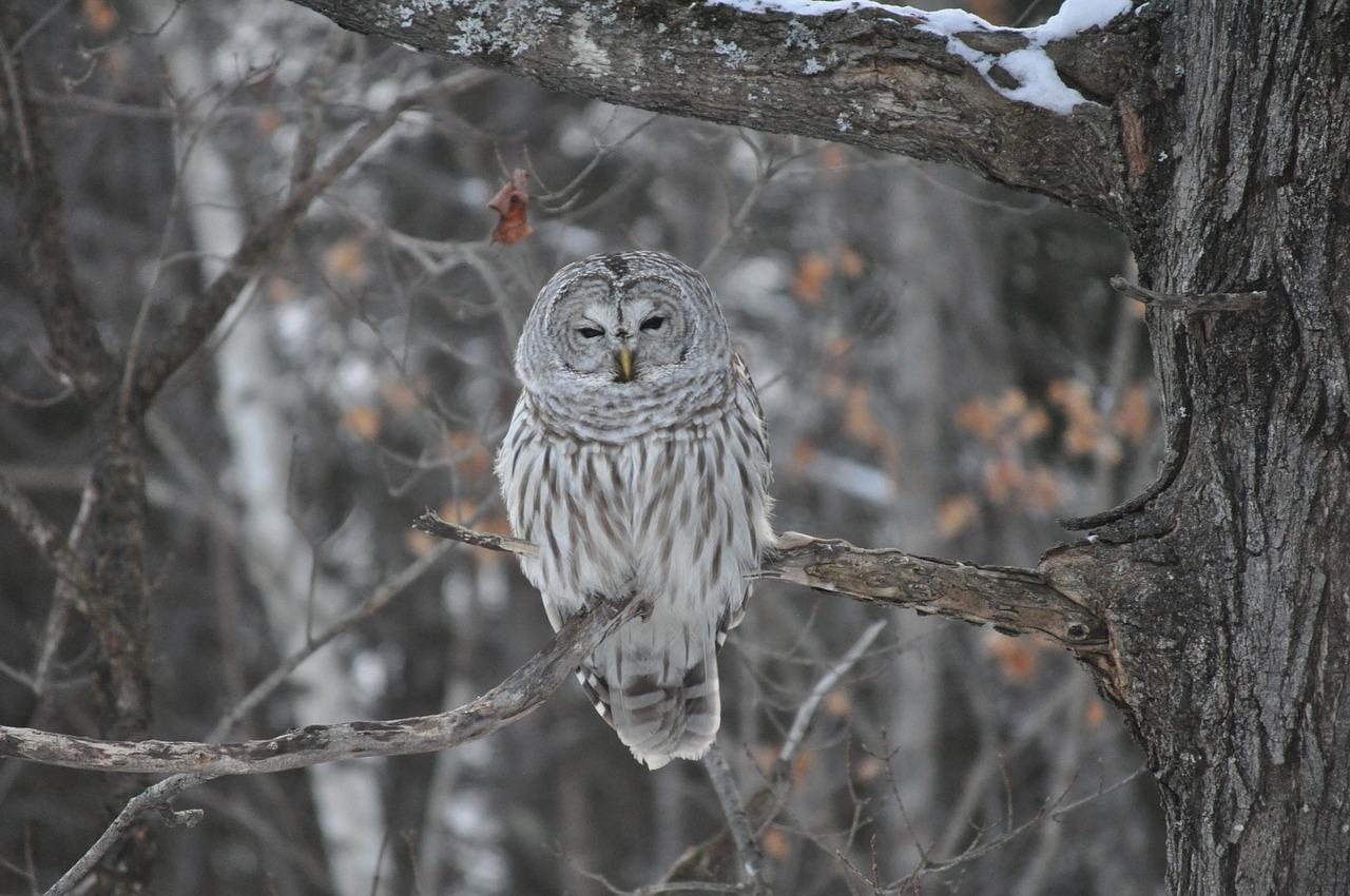 картинки совы зимой в лесу индустрия подарила нам