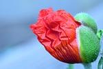 poppy, blossom, bloom