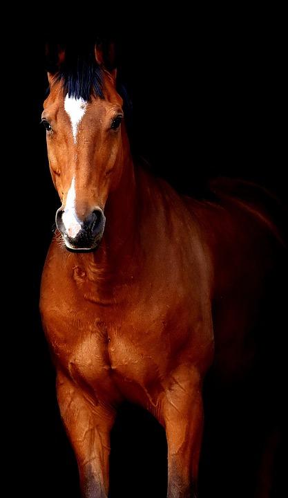 Etwas Neues genug Pferd Braun Schwarzer Hintergrund · Kostenloses Foto auf Pixabay #KU_49