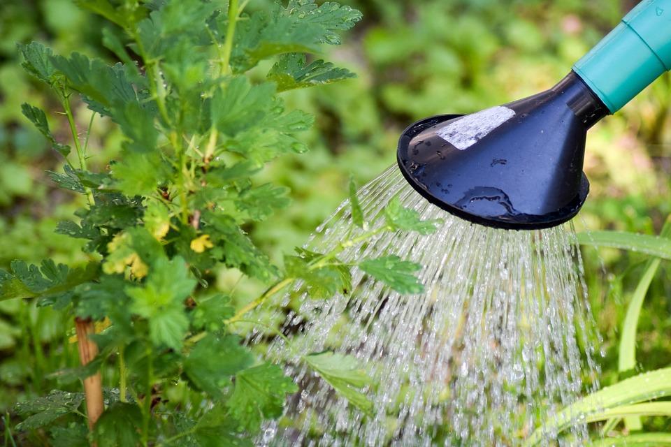 グーズベリー, 木の湯治, 灌水, 植物の水やり, 鋳造, 水, ガーデニング, 庭, 自然, 環境, マクロ