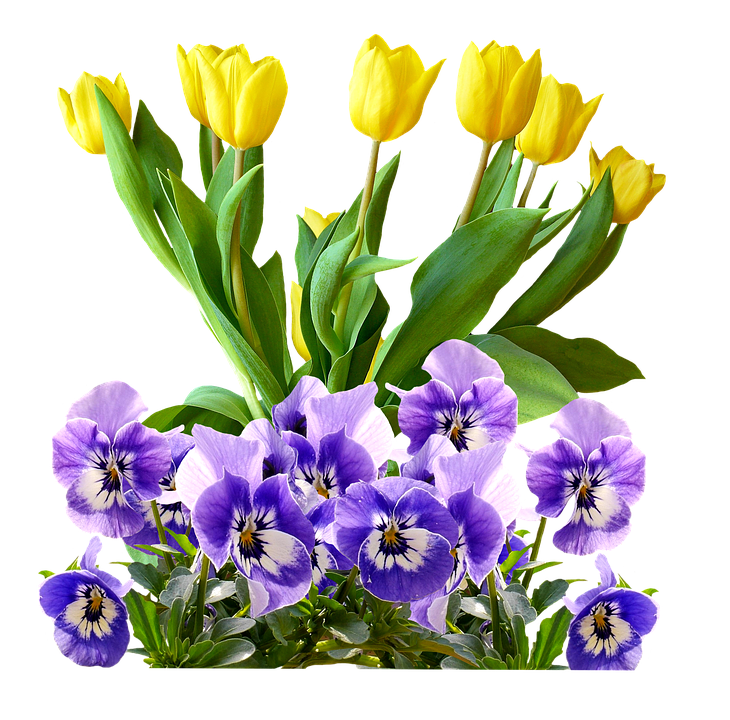 Tulips Pansy Isolated 183 Free Image On Pixabay