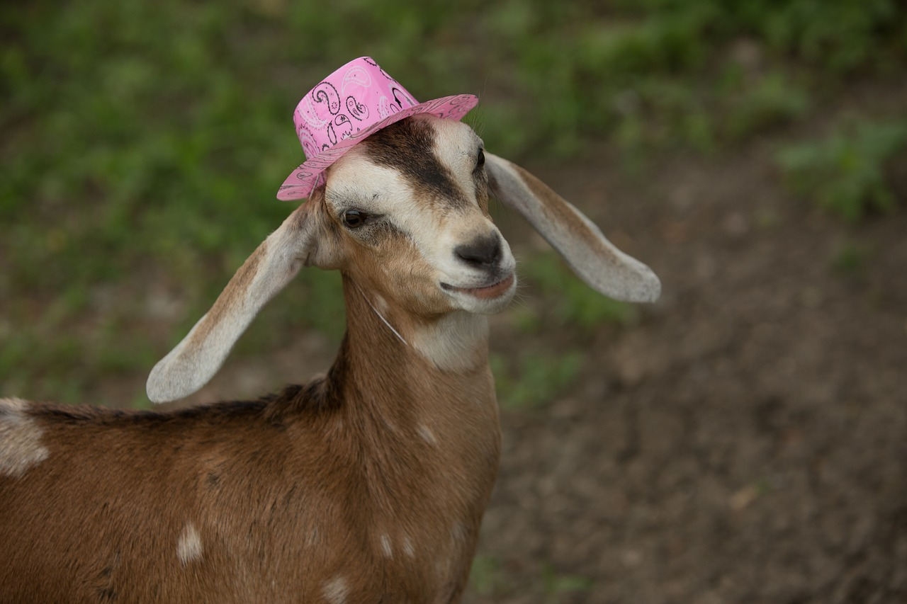 Картинки прикольной козы, открытка