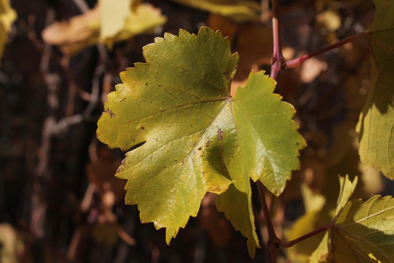 фирме найти фото листа винограда шумные улицы
