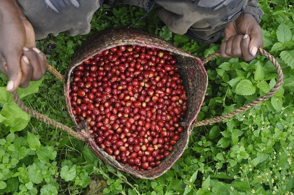 Ethio, Coffee, Farm