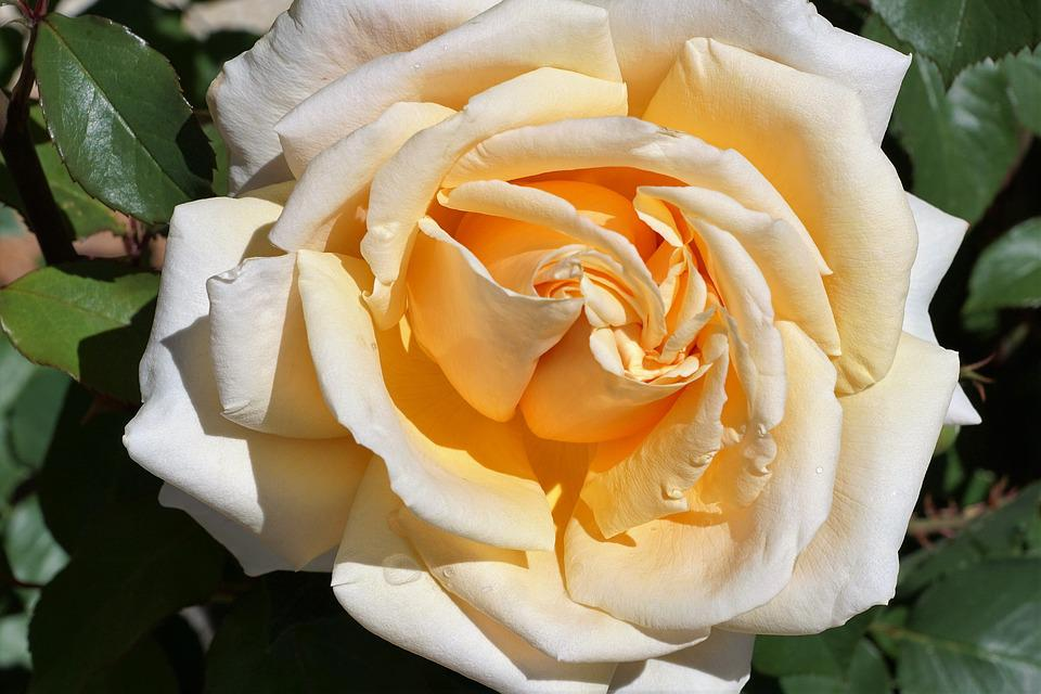 rose symbol free photo rose yellow love symbol flower free image on