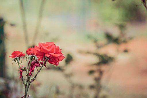 Rose, Botanical Garden, Garden, Flower