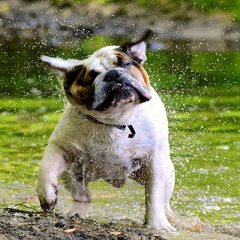 Bulldog, English People, Water