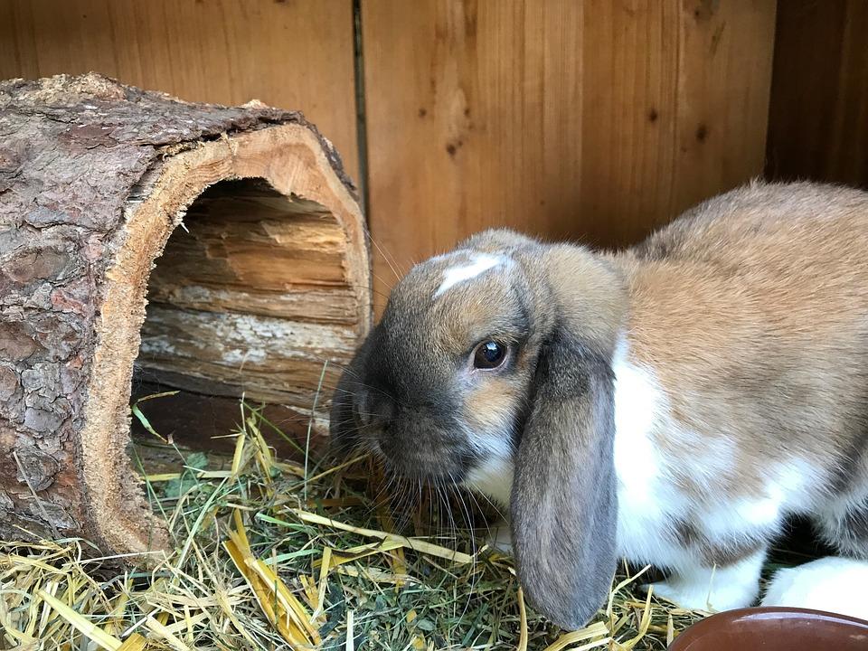 Hare Dwarf Bunny Rabbit Floppy · Free photo on Pixabay   960 x 720 jpeg 281kB
