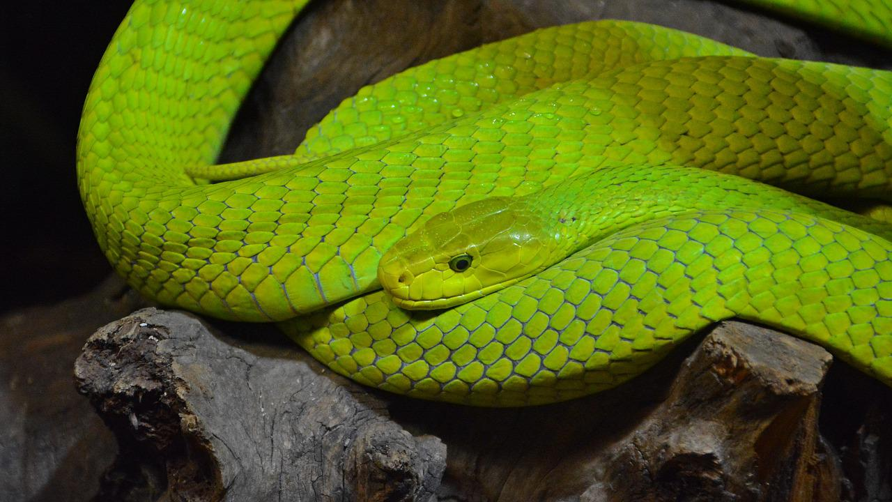Черная И Зеленая Мамба Ядовитая Змея Фото