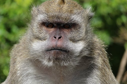 Affe, Mauritius, Gesicht, Grimmig