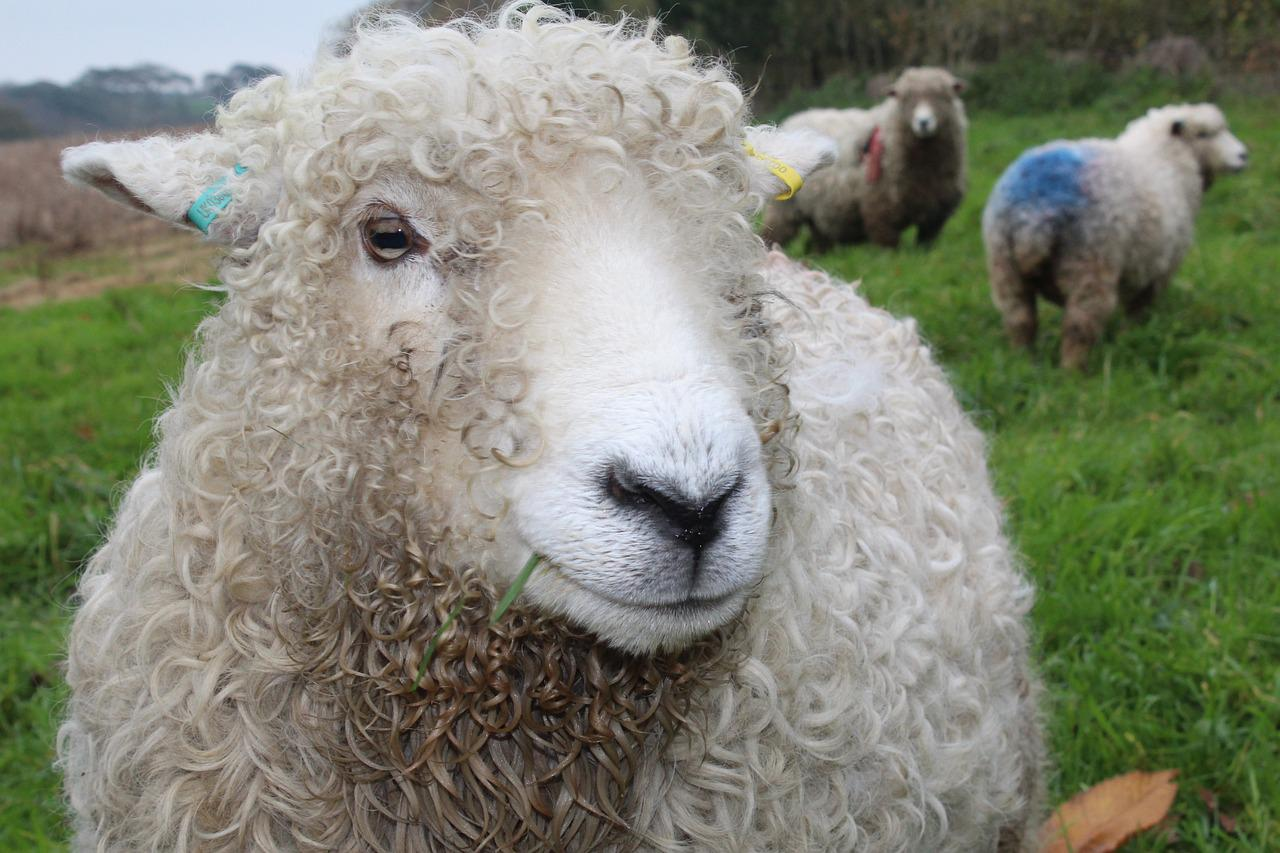Картинка овечки и барашка