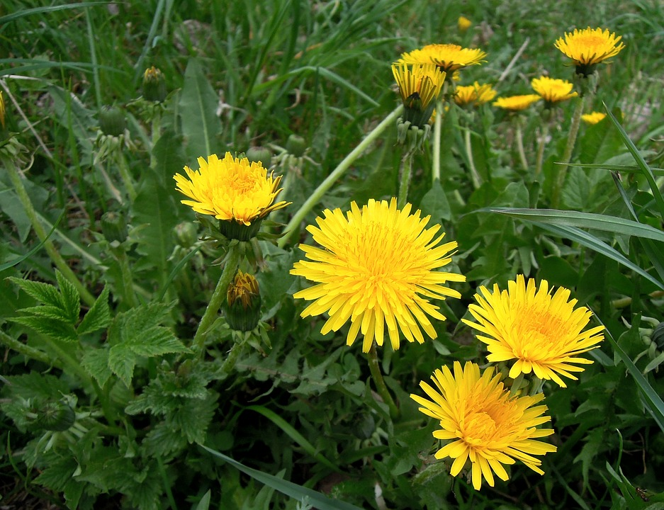 Dandelions flowers yellow free photo on pixabay dandelions flowers yellow flower plant mightylinksfo