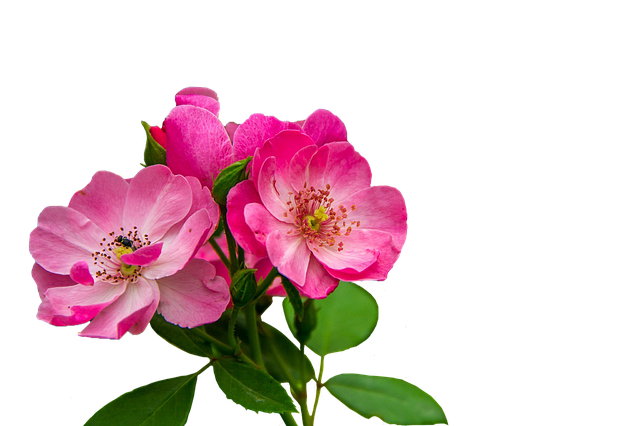 Roses Flowers Pink · Free Image On Pixabay