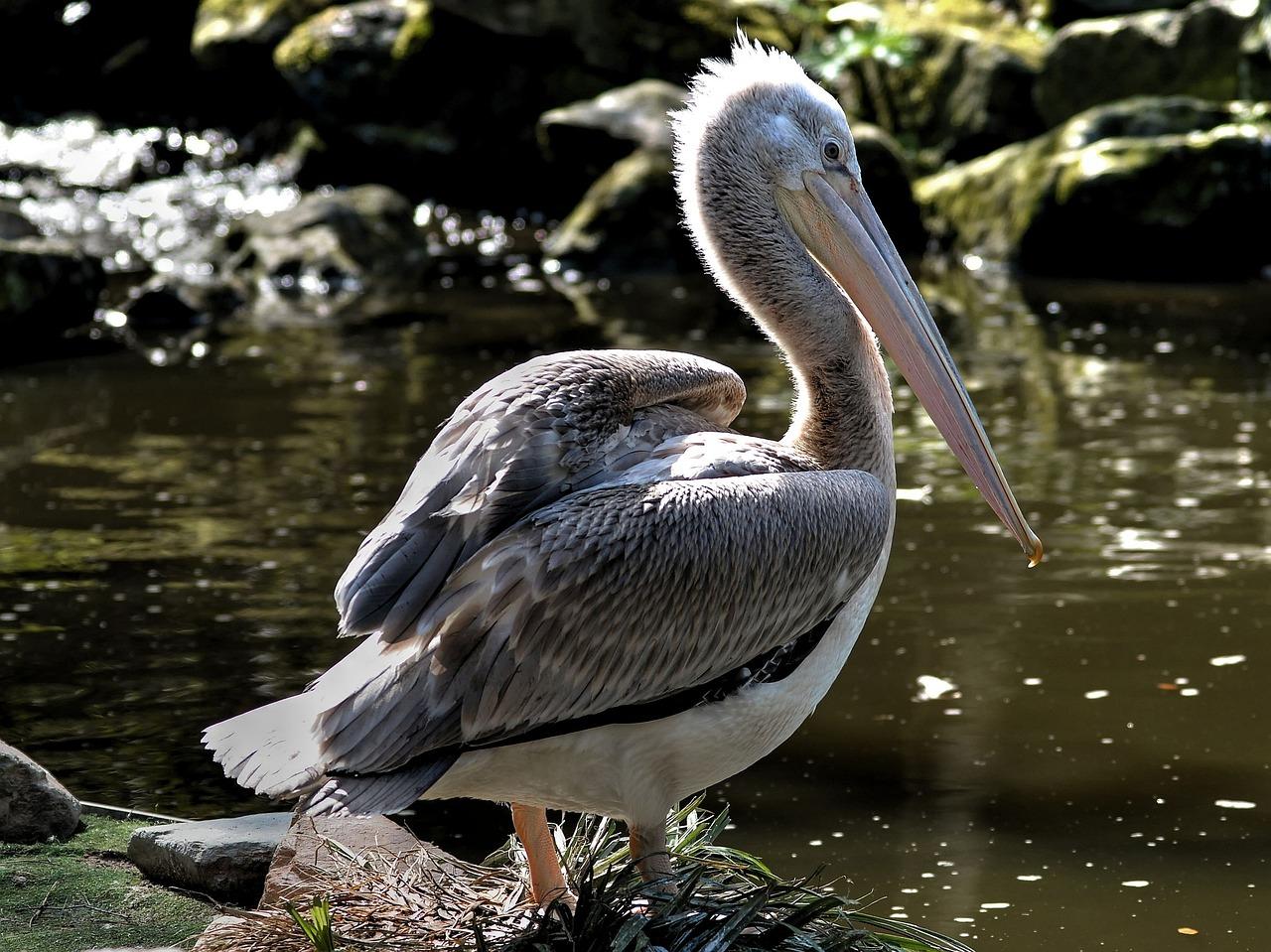 готовится пеликан большие картинки котором