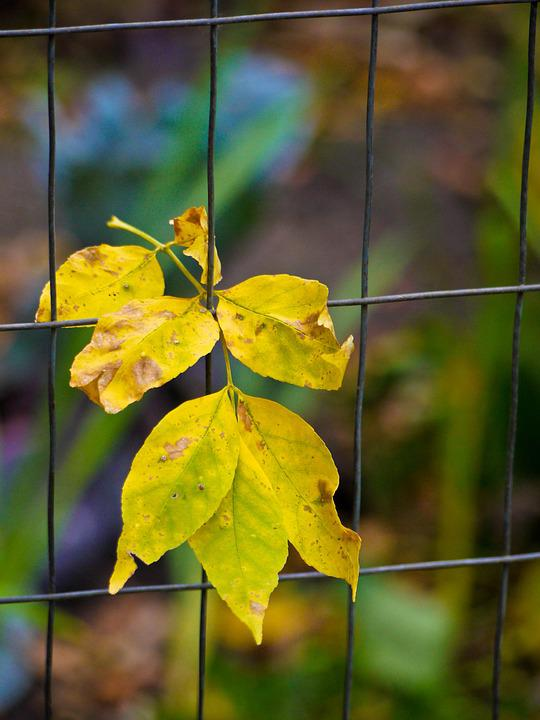 Free photo: Leaves, Wire, Fence, Yellow, Fall - Free Image on ...