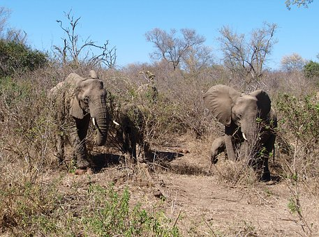 Elephant, Africa, Wild Animal, Safari