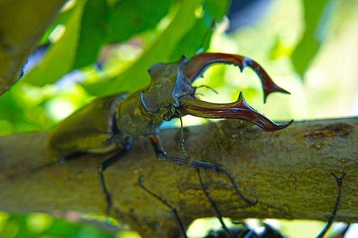クワガタ, カブトムシ, 偉大なクワガタ, 昆虫