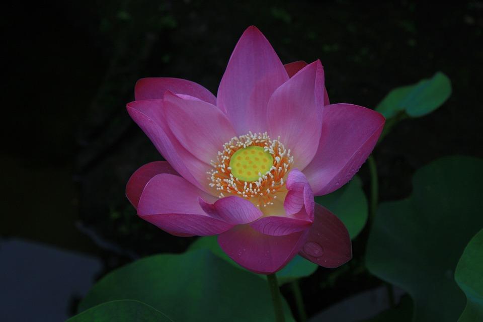 Lotus flower free photo on pixabay lotus flower india mightylinksfo
