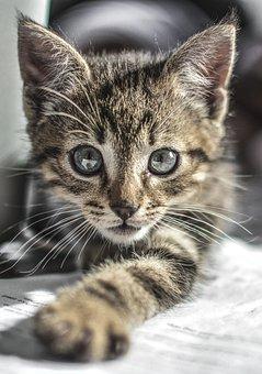 Kitten, Cat, Cute, Pet, Animal, Kitty